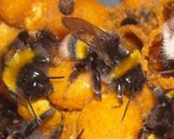 bee foraging chronically impaired by pesticide exposure