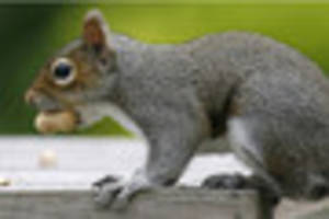 Squirrels to be culled in Cornwall