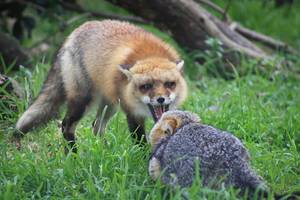 Inner-City London Council Offers Advice on Shooting Foxes